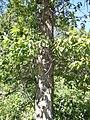 Populus balsamifera (5002984492).jpg