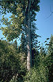 Populus trichocarpa Umatilla.jpg