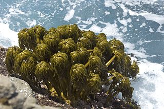 <i>Postelsia</i> Species of kelp