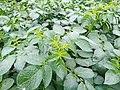 Potato Plant-2.jpg