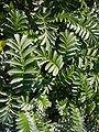 Potentilla anserina 'silver weed' 2007-06-02 (leaves).jpg