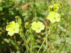Potentilla collina0.jpg