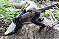 Primates - Ateles geoffroyi - 8.jpg