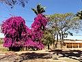 Primavera (Bougainvillea glabra). Frente do prédio principal. IFMG - Bambuí - panoramio.jpg