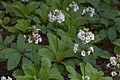 Primula japonica f. alba 01.jpg