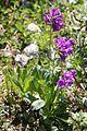 Primula latifolia subsp. latifolia SOPHY 4.JPG
