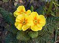 Primula yellow.jpg