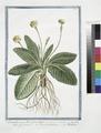 Primulaveris, pallido flore, elatior - Paralis officinarum - Fiori di primavera - Primevére (NYPL b14444147-1125032).tiff