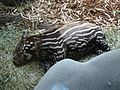 Princess Tapir sleeping.JPG