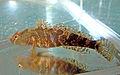 Proterorhinus marmoratus 6.jpg