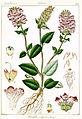 Prunella vulgaris Govindoo.jpg