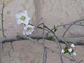 Prunus dulcis-Jerusalem=3.jpg