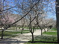 Prunus dulcis Retiro.jpg