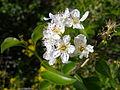 Prunus mahaleb flower1.JPG