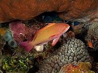 Pseudanthias squamipinnis (Scalefin anthias) male