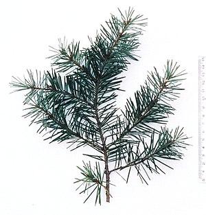 Pseudotsuga - Rocky Mountain Douglas-fir twig