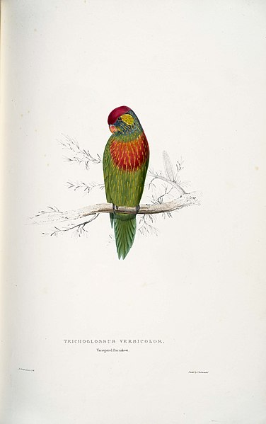 File:Psitteuteles versicolor - Variegated parrakeet -by Edward Lear.jpg