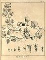 Psychotria violacea Aublet 1775 pl 55 .jpg