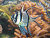 Pterapogon kauderni NEA