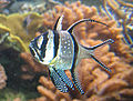 Pterapogon kauderni NEA.jpg