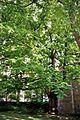 Pterocarya fraxinifolia Munich 1.jpg