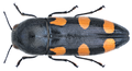 Ptosima undecimmaculata (Herbst, 1784).png