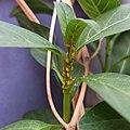 Pulgón de la adelfa (Aphis nerii) sobre Asclepias sp.jpg