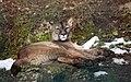 Puma (Puma concolor) Zoo Salzburg 2014 b.jpg