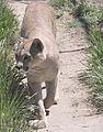Puma concolor puma 5.JPG