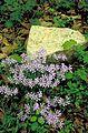 Purple flowers by a rock.jpg