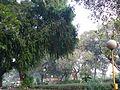 Putramjiva (Kannada- ಪುತ್ರಮ್ಜೀವ) (2098341766).jpg