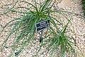 Puya mirabilis - Brooklyn Botanic Garden - Brooklyn, NY - DSC08069.JPG