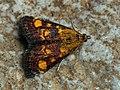 Pyrausta aurata - Mint moth - Огнёвка золотистая (43890773781).jpg