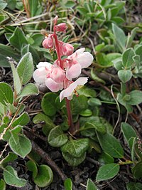 Pyrola grandiflora upernavik 2007-07-15 1.jpg