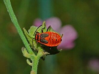Pyrrhocoris apterus - Image: Pyrrhocoridae Pyrrhocoris apterus 1