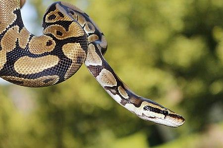 Python Regius (163596247).jpeg
