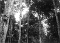 Queensland State Archives 1389 An aboriginal climbing a Monkey Rope Malanda NQ c 1935.png