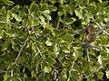 Quercus coccifera (leaves).jpg