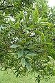 Quercus libani kz01.jpg