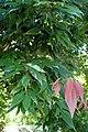 Quercus myrsinifolia kz4.jpg