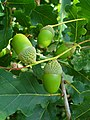 Quercus robur 002.JPG