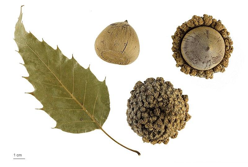 File:Quercus skinneri MHNT.BOT.2011.18.18.jpg