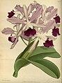 R. Warner & B.S. Williams - The Orchid Album - volume 03 - plate 097 (1884).jpg