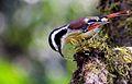 RED-tailed Minla.jpg
