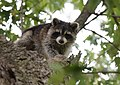 Raccoon (37283488770).jpg
