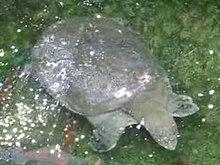 Tartaruga Dal Guscio Molle.Rafetus Swinhoei Wikipedia