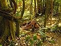Rafflesia flower - Cameron Highlands - Malaysia - panoramio.jpg