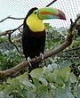 Ramphastos sulfuratus -London Zoo-4c.jpg