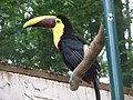 Ramphastos swainsonii -Parrot Mountain and Gardens, Pigeon Forge, Tennessee, USA-8a.jpg