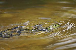 Edible frog - Image: Rana esculenta swimming 331